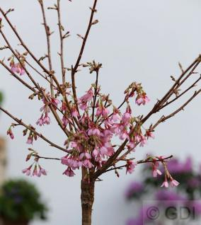 Hochstamm Zierkirsche Okame 40-60cm - Prunus Okame - Vorschau