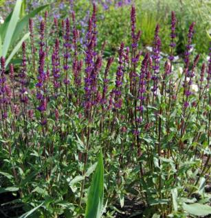 Salbei Caradonna - großer Topf - Salvia nemorosa - Vorschau