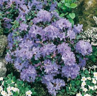 Zwerg Rhododendron Blue Tit 40-50cm - Rhododendron impeditum - Zwerg Alpenrose - Vorschau