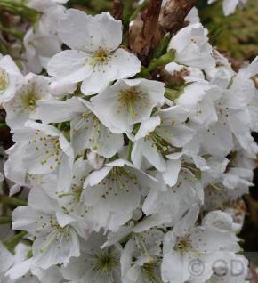 Kurilenkirsche Brillant 40-60cm - Prunus kurilensis - Vorschau