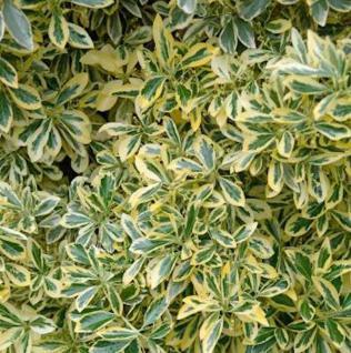 Gelbbunter Japanischer Spindelstrauch 40-60cm - Euonymus japonicus Aureomarginatus - Vorschau