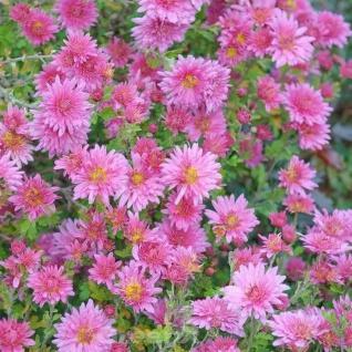 Winteraster Schweizerland - Chrysanthemum hortorum - Vorschau