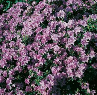 Zwerg Rhododendron Ramapo 25-30cm - Rhododendron impeditum - Zwerg Alpenrose - Vorschau