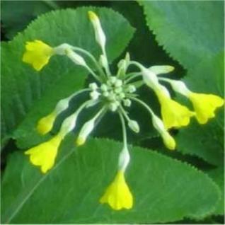 Sommerprimel - Primula florindae - Vorschau