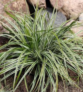 Oshima Segge Everest - großer Topf - Carex oshimensis - Vorschau