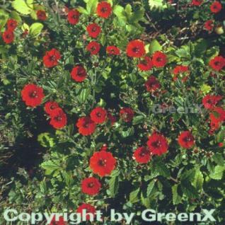 Fingerkraut Gibson Scarlett - Potentilla atrosanguinea - Vorschau
