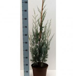 Kegel Wacholder Blue Heaven 80-100cm - Juniperus scopulorum - Vorschau