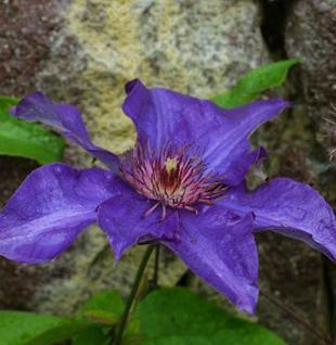 Waldrebe The President 100-125cm - Clematis The President - Vorschau