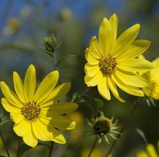 Riesen Sonnenblume - Helianthus giganteus - Vorschau