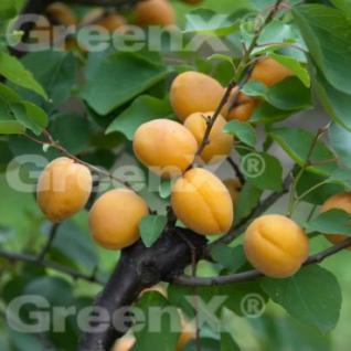 Aprikose 60-80cm - Prunus armeniaca - Vorschau