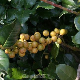 Gelbfruchtige Stechpalme Ilex Goldfrucht 100-125cm - Ilex meserveae - Vorschau