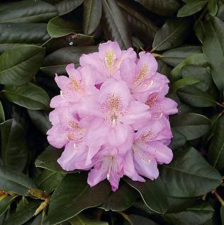 Großblumige Rhododendron Scintillation 25-30cm - Alpenrose - Vorschau