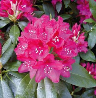 Großblumige Rhododendron Nova Zembla 40-50cm - Alpenrose - Vorschau