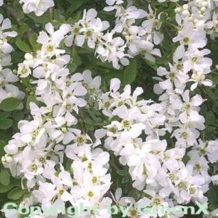 Kleine Prunkspiere The Bride 60-80cm - Exochorda macrantha - Vorschau
