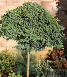 Hochstamm Japanischer Kriechwacholder 40-60cm - Juniperus procumbens Nana - Vorschau