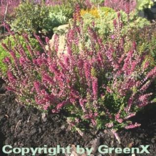 10x Besenheide Allegro - Calluna vulgaris - Vorschau