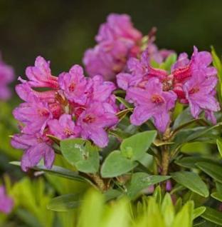 Rhododendron albrechtii 20-25cm - Vorschau