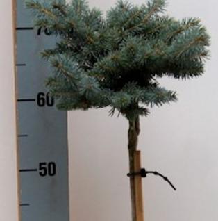 Hochstamm Zwergblaufichte 40-60cm - Picea pungens - Vorschau