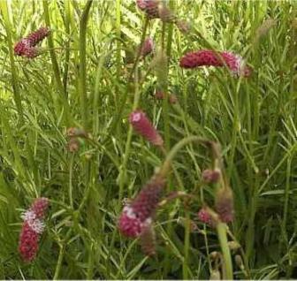Roter Garten Wiesenknopf - Sanguisorba tenuifolia - Vorschau