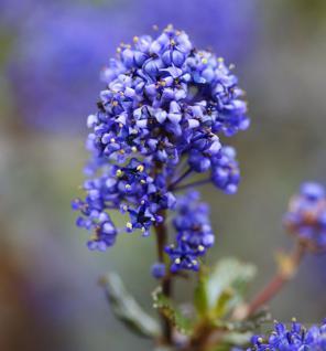 Säckelblume Blue Sapphire 20-30cm - Ceanothus impressus - Vorschau