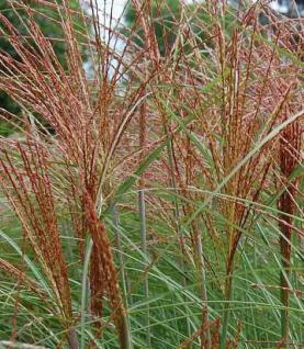 Chinaschilf Graziella - Miscanthus sinensis - Vorschau