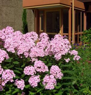 Hohe Flammenblume Rosenlicht - Phlox paniculata - Vorschau