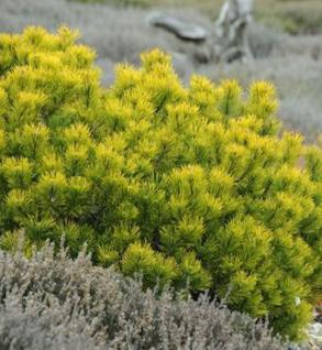 Berg Kiefer Winter Gold 20-25cm - Pinus mugo Winter Gold - Vorschau