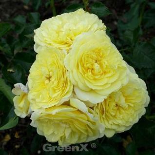 Hochstamm Rose Solero® 40-60cm - Vorschau