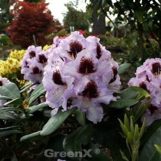 Großblumige Rhododendron Pinguin 30-40cm - Alpenrose - Vorschau