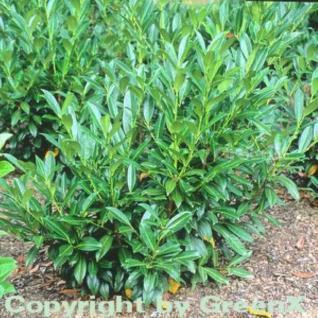 Kirschlorbeer Reynvaanii 40-60cm - Prunus laurocerasus - Vorschau