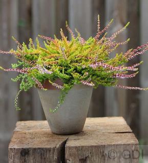 10x Besenheide Wickwar Flame - Calluna vulgaris - Vorschau
