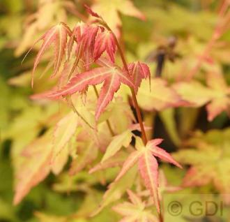 Fächerahorn Bi-Hoo 40-60cm - Acer palmatum - Vorschau