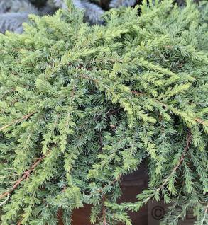 Grüner Kriechwacholder Green Mantle 25-30cm - Juniperus squamata - Vorschau