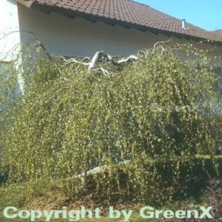 Hochstamm Trauer-Birke Youngii 100-125cm - Betula pendula - Vorschau
