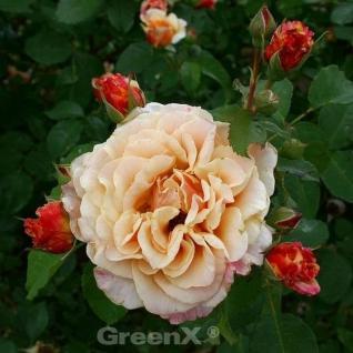Märchenrose Caramella 30-60cm - Vorschau
