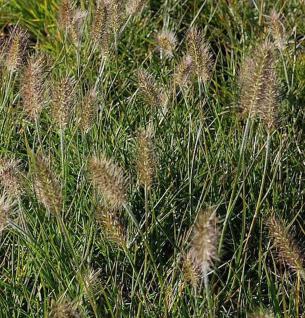 Lampenputzergras Little Bunny - Pennisetum alopecuroides - Vorschau