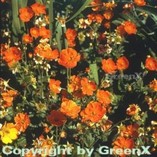 Roter Nelkenwurz Boris - Geum coccineum - Vorschau