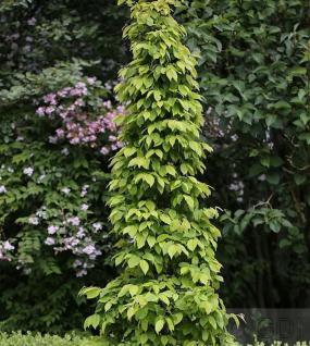 Hainbuche Lucas 60-80cm - Carpinus betulus - Vorschau