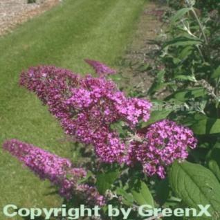 Sommerflieder Pink Delight 60-80cm - Buddleja - Vorschau