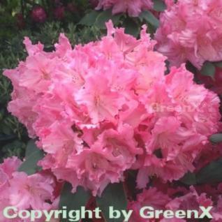 Großblumige Rhododendron Caruso 30-40cm - Alpenrose - Vorschau