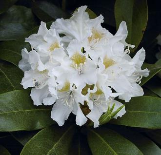 INKARHO - Großblumige Rhododendron Cunningham White 40-50cm - Alpenrose - Vorschau