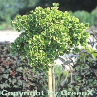 Hochstamm Kugel Fächerblattbaum 80-100cm - Ginkgo biloba - Vorschau