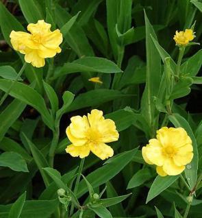 Sumpfhahnenfuß Grandiflorus - Ranunculus lingua - Vorschau