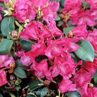 Rhododendron Gartendirektor Glocker 40-50cm - Rhododendron williamsianum - Vorschau