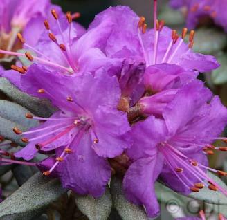 Zwerg Rhododendron Saint Merryn 30-40cm - Rhododendron impeditum - Zwerg Alpenrose - Vorschau