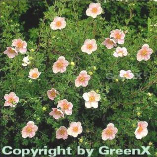 10x Fünffingerstrauch Princess - Potentilla fruticosa - Vorschau