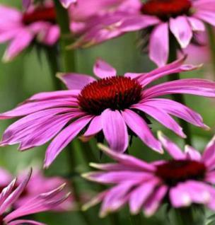Sonnenhut Little Magnus - Echinacea cultorum - Vorschau