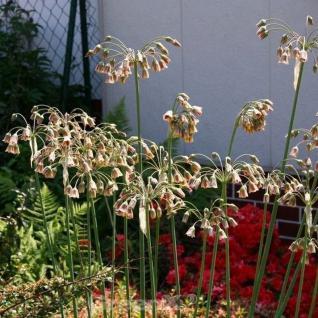 Sizilianischer Honiglauch - Nectaroscordum siculum - Vorschau