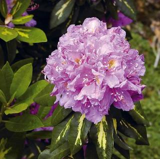 Großblumige Rhododendron Goldflimmer 25-30cm - Alpenrose - Vorschau