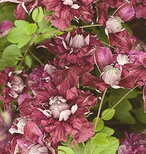 Robuste Waldrebe Purpurea Plena Elegans 60-80cm - Clematis viticella - Vorschau